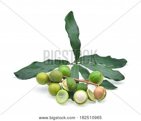 Macadamia with leaves isolated on white background