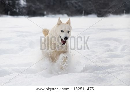 Front view of white Siberian husky dog running in snow winter scene