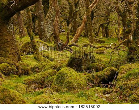 Green moss covered trees and stones of woodland on Dartmoor, Devon, England