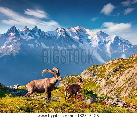 Alpine Ibex (Capra Ibex) on the Mont Blanc (Monte Bianco) background. Colorful summer morning in the Vallon de Berard Nature Preserve Graian Alps France Europe.