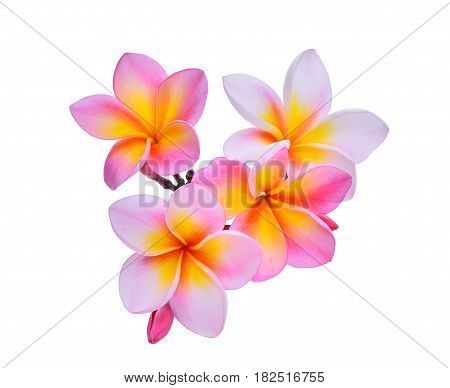 frangipani flowers isolated on the white background