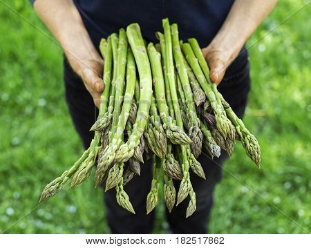 Farmer holding freshly picked green asparagus close up