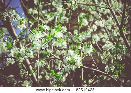 Spring White Blooming Trees Retro
