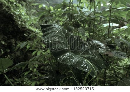 Dew on the leaves of the jungle, syngonium