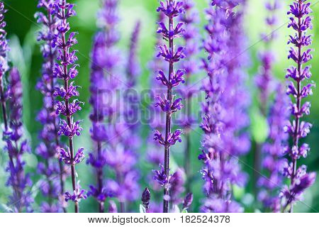 The lavender flower field, fresh purple aromatic wildflower, natural background, macro with soft focus