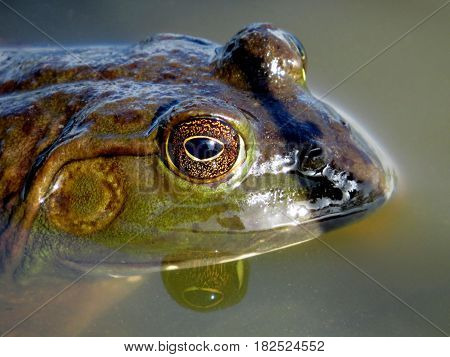 American bullfrog profile. Frog in a lake closeup. (Lithobates catesbeianus or Rana catesbeiana)
