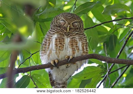 Asian barred owlet Glaucidium cuculoides Birds Sleeping