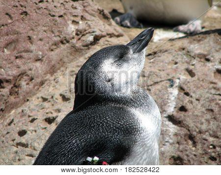 Little penguin basking in the warm sunshine.