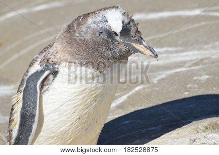 Young penguin losing his feathers and molting.