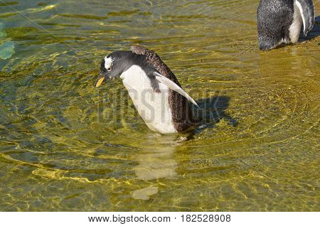 Gentoo penguin losing his feathers and molting.