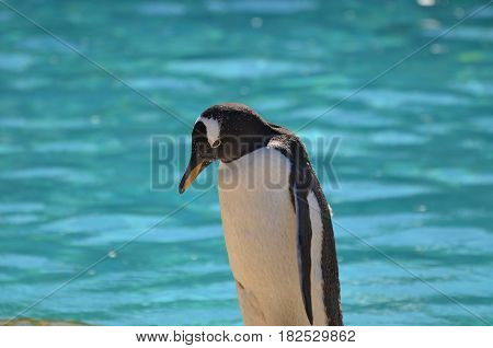 Really cute gentoo penguin standing in front of a pool of water.