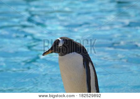 Pool of water with a gentoo penguin standing in front of it.