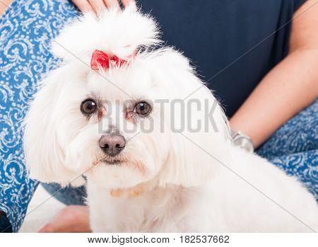 Closeup Picture Of A White Cute Bichon