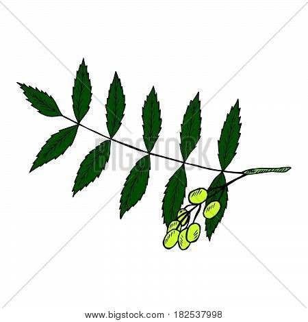 Neem or nimtree medicinal plant. Ayurvedic Herb. Hand drawing ink illustration. Design for essential oil natural cosmetics treatment aromatherapy homeopathy. For print poster logo label.
