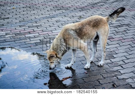 Stray Dog Eating Water From a Floor