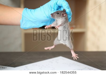 Hand of scientist with cute rat in laboratory