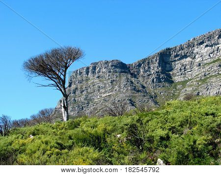 FROM CAPE TOWN, SOUTH AFRICA, TABLE MOUNTAIN NATIONAL PARK, WITH INDIGENOUS VEGETATION IN THE FORE GROUND AND PART OF TABLE MOUNTAIN IN THE BACK GROUND 11a
