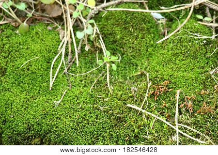 Forest moss. The green moss is so soft, bright, delicate,fluffy to the touch. Touch him with your hand very nice.
