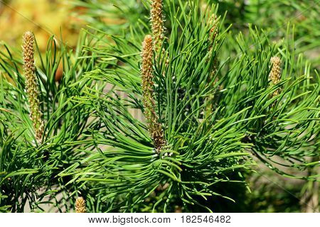 Conifers. After the winter, conifers are so bright! The needles of firs and pines full of beautiful, lush, green color. The branches producing cones.