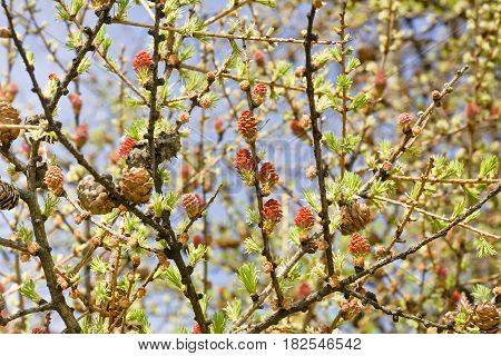 Larch branches with old and young cones. Background with bouquet of flowering larch.