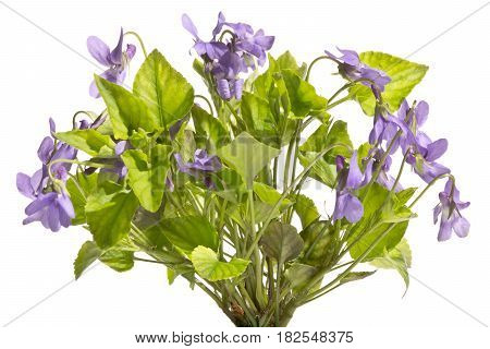 A bouquet of beautifully blossoming wild violets.Violets isolated on a white background.