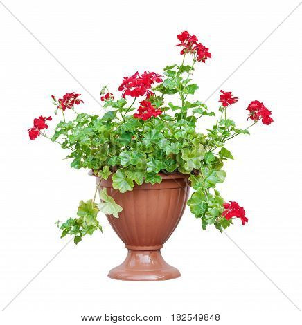 Home plant red geranium (ore cranesbill ore pelargonium) in a brown flowerpot isolated on white background