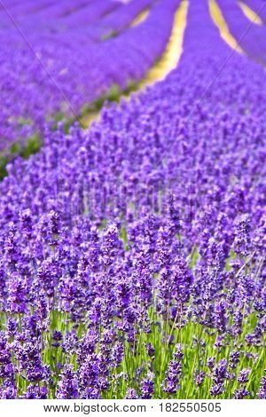 Closeup blooming purple lavender in the field