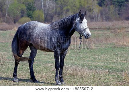 Gray horse on a leash in the field