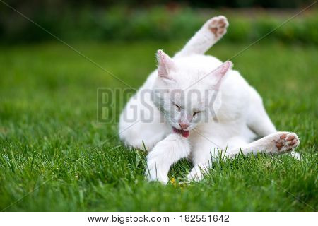 White Fluffy Cat Licking Herself And Cleaning Her Skin  - Copy Space