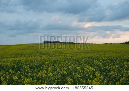 Rapeseed filed at sunset