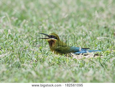 Blue-tailed bee-eater ( Merops philippinus) in nature