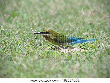 beautiful blue tailed bee eater ( Beautiful colour )