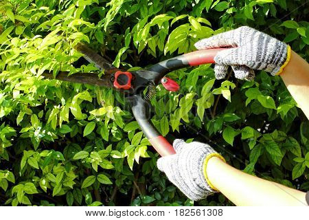 Pruning of ornamental trees by scissors in the strong sun.