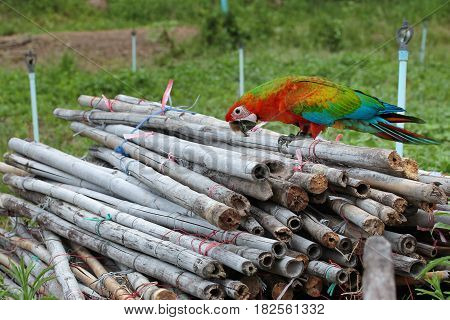 Three months of red and blue macaw parrot perched on a pile of bamboo removed from the agriculture.