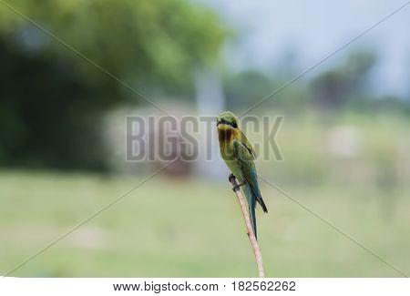 Beautiful Bee-eater bird Blue-tailed Bee-eater (Merops phippinus)