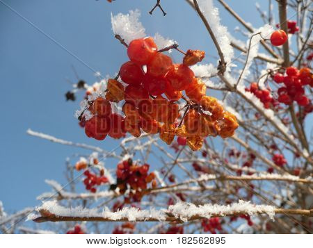 Red viburnum in the snow on blue sky background