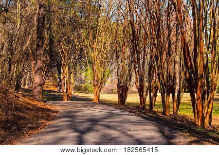 Alley with leopard trees and curved road in Lullwater Park in sunny autumn day, Atlanta, USA