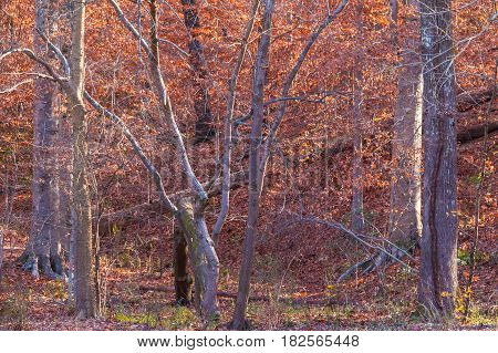 Dense thicket of bare trees and dry leaves in sunny autumn day