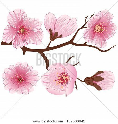 Vector sakura flower branch element. Elegant element for your design. Detailed illustration of sakura branches with flowers on light background. Cherry blossom