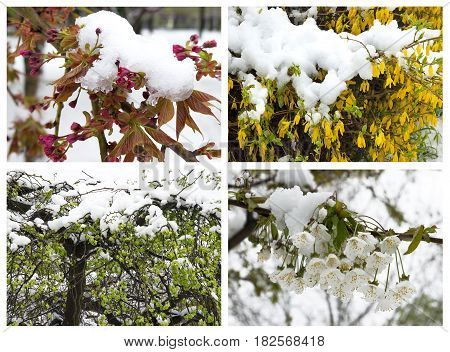 Set of pictures with unexpected snow on the blooming spring branch