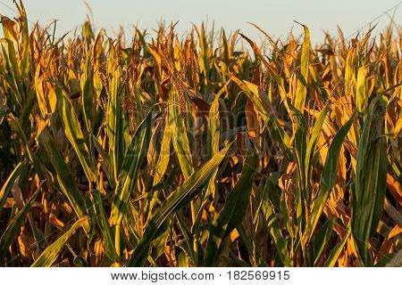 almost harvest time for this crop of field corn