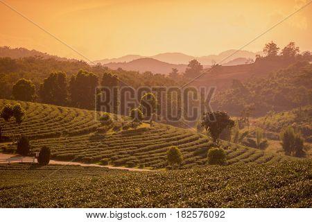 Thailand Chiang Rai Mae Chan Tea Plantation