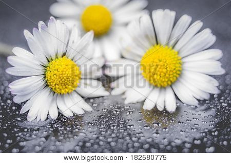 Daisy flowers with water drop on reflection background macro photography