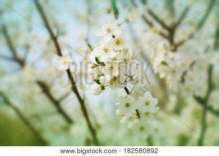 Spring flowers of cherry blossom