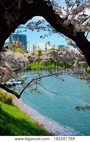 An old cherry tree forms a natural frame for a peaceful spring view of the Chidorigafuchi Moat in Tokyo, Japan