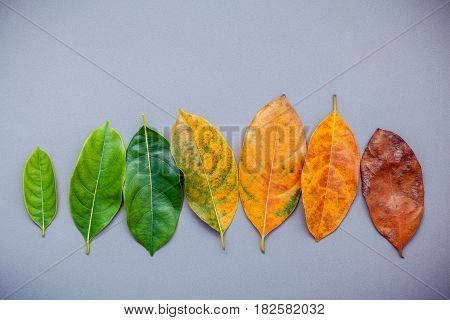 Leaves Of Different Age Of Jack Fruit Tree On Gray Background. Ageing  And Seasonal Concept Colorful
