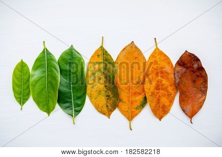 Leaves Of Different Age Of Jack Fruit Tree On White Background. Ageing  And Seasonal Concept Colorfu
