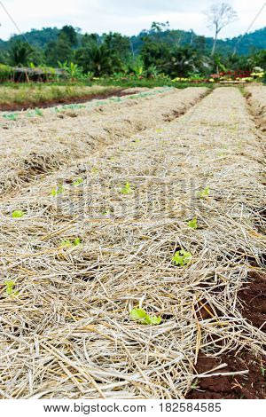 Lettuce row in garden seedlings are covered with rice straw and hay. Vegetable farm preparing for planting. Outdoor at the daytime on summer day. Using as agriculture background concept.