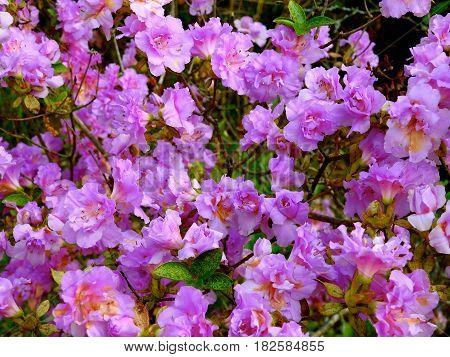 Azalea Bush, Purple, Springtime Beauty, Eastern NC