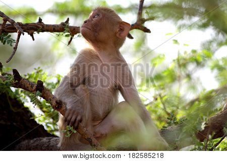 Monkey sitting in green bushes, looking up, India